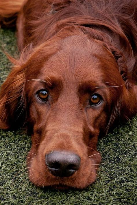 setter dog baby the 25 best irish setter ideas on pinterest red setter