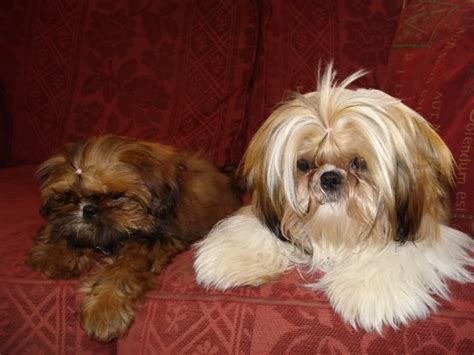 shih tzu hair styles best shih tzu haircuts hairs picture gallery