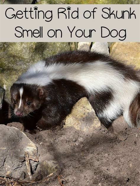 How To Get Skunk Smell Out Of House by 1000 Ideas About Skunk Smell On Skunk Smell