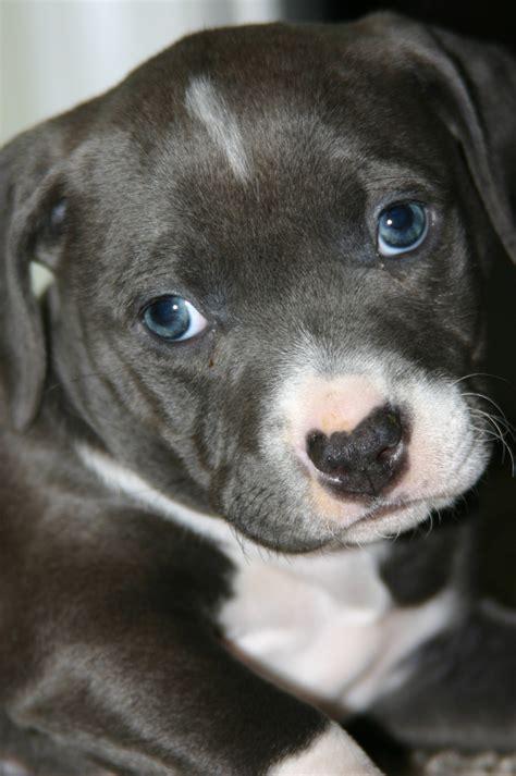 7 week pitbull puppy pitbull puppy 7 weeks best breed pit bulls