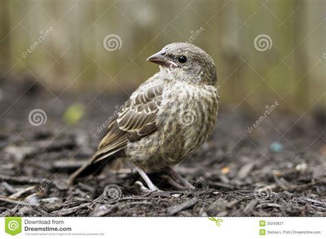 house finch baby birds baby house finch bird stock image image of wildlife
