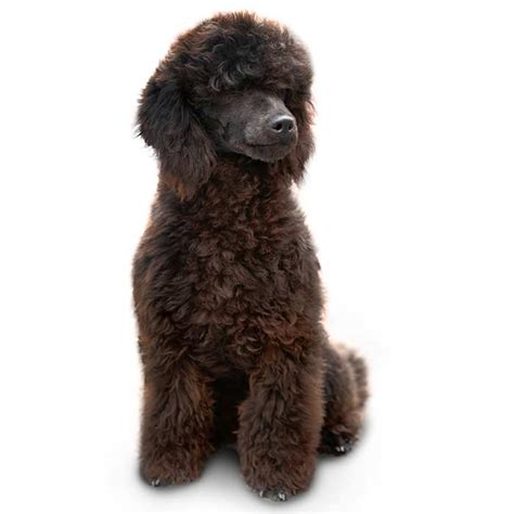 miniature poodle lifespan miniature poodle expectancy photo