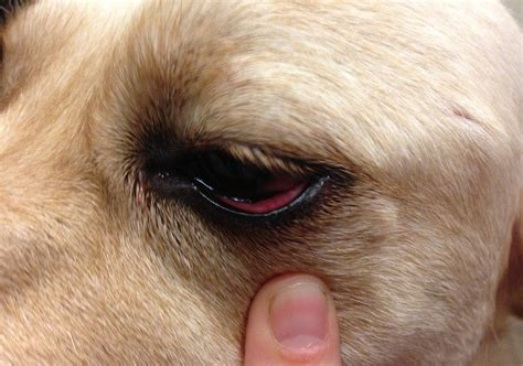 goopy in dogs s eye problems take care of your friends