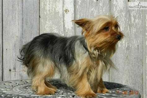 yorkie poo puppies for sale in bc yorkie poo puppies for sale in indiana image breeds picture