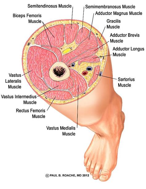 cross section of femur yoga sequences jason crandell vinyasa yoga method