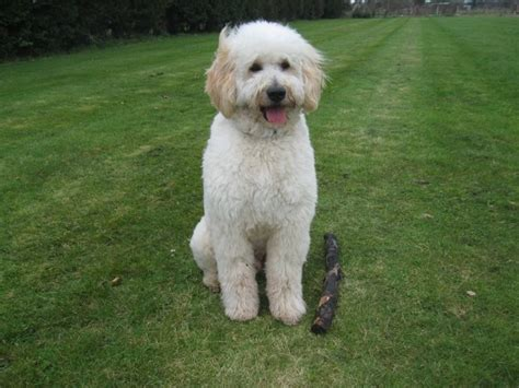 f1 goldendoodle puppies labradoodles puppies for sale breeder uk chocolate and f1 goldendoodles