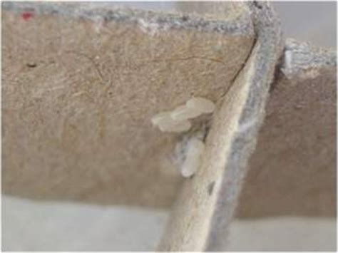 how do bed bugs breed can bedbugs breed on a chair