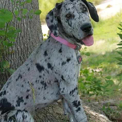 merle great dane puppies for sale great dane puppies merle great danes and dane puppies on
