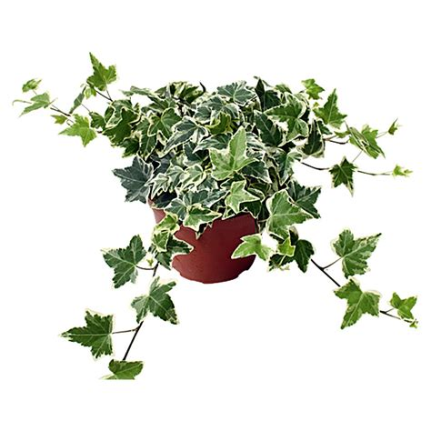 Hedera Helix Zimmerpflanze by Piardino Efeu Hedera Helix Topfgr 246 223 E 12 Cm Panaschiert