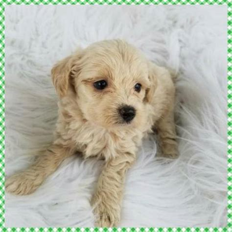 Small Non Shedding Dogs For Adoption by Hypoallergenic Dogs For Adoption Near Me Pets World