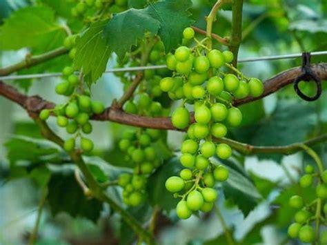 grapevine diacos garden nursery  garden centre