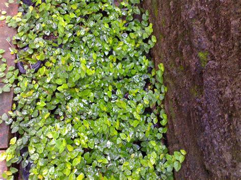 jual tanaman rambat dolar daun kecil creeping fig