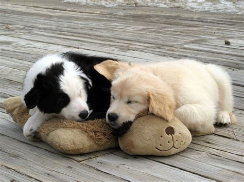 snuggle puppies 1780 snuggle puppies woofbc flickr