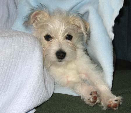 maltese terrier mix hair cuts malchi chihuahua maltese mix info temperament puppies