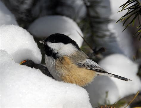 how do birds survive frigid winter temperatures