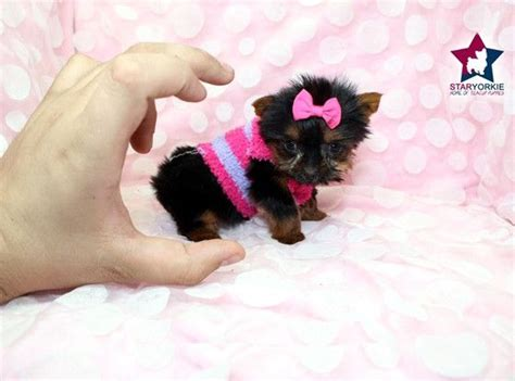 yorkie in a teacup 17 best ideas about teacup yorkie on mini yorkie yorkie puppies and