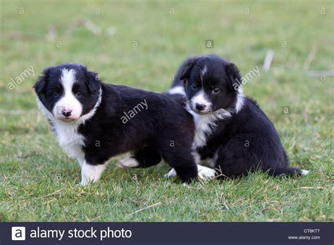 border collie puppies idaho border collie puppies black white puppies stock photo royalty free image 49363671