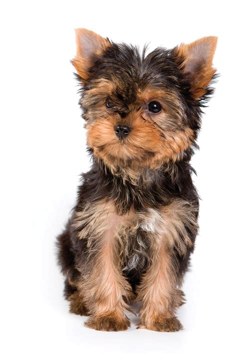 all about yorkie puppies terrier breeds at mypetsmart
