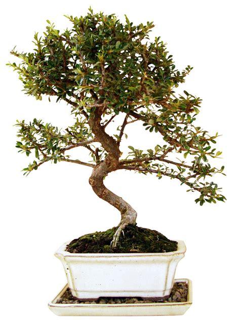 genki bonsai cotoneaster zwergmispel cot9 8 genki bonsai