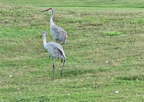 sandhill crane golf course in tallahassee daily photo sandhill cranes on the golf course