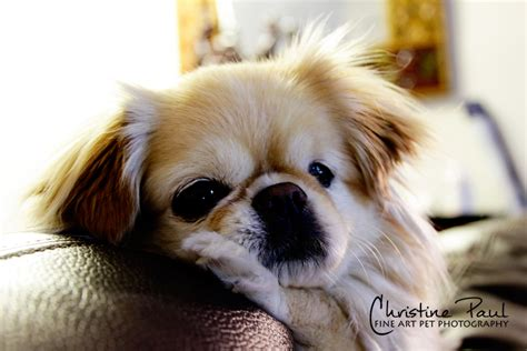 pekingese chihuahua shih tzu mix can you spare a room for fostering a oh my shih tzu