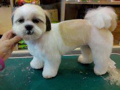 panda chin puppy haircuts shih tzu teddy bear cut dog grooming shop my life