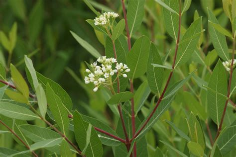 milkweed biology western monarch milkweed mapper