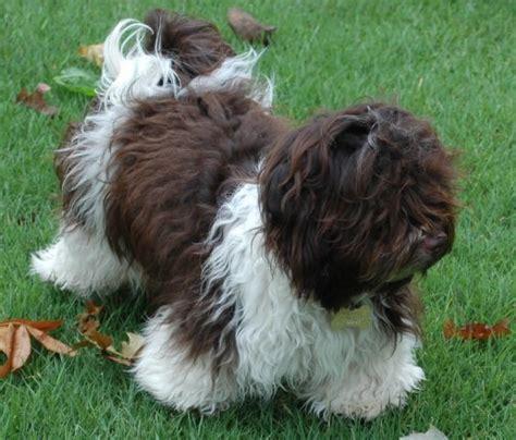 havanese coat 138 best havanese dogs images on