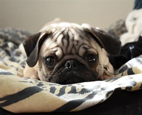 why is my pugs nose 17 best images about pugs on puppys pug and brindle pug