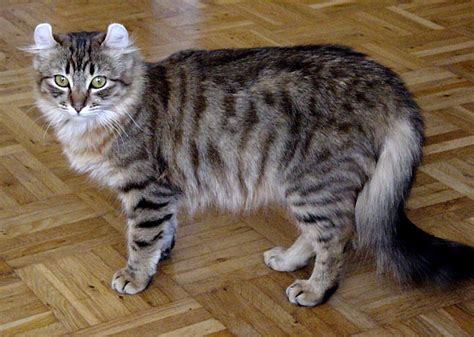 american breeds cat breeds a to z cats types