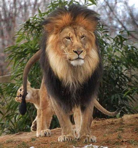 imagenes medicas amado de leon leona abronca a le 243 n por pelearse con su cachorro