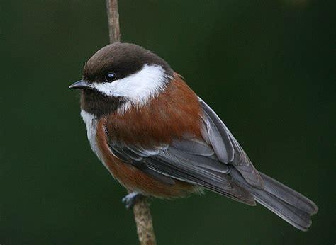 chestnut backed chickadee janine russell flickr
