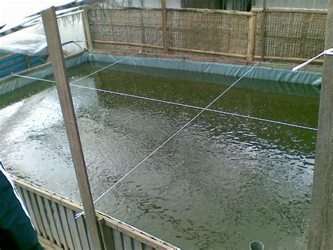Pakan Ikan Gurame Hias budidaya ikan gurami di kolam terpal bibitikan net