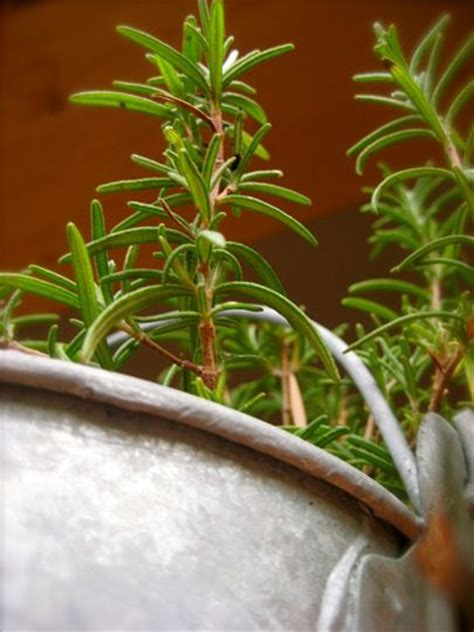 simple green repel mosquitoes with rosemary