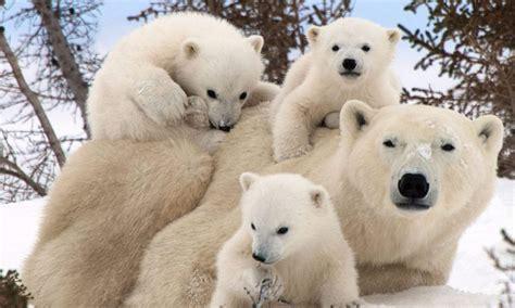 mengenal jenis beruang   hidup liar  permukaan