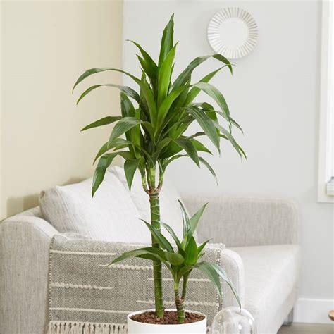buy dragon tree dracaena fragrans janet craig