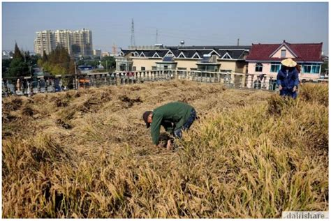Lukisan Tanam Padi petani tanam padi atas bumbung rumah dairishare
