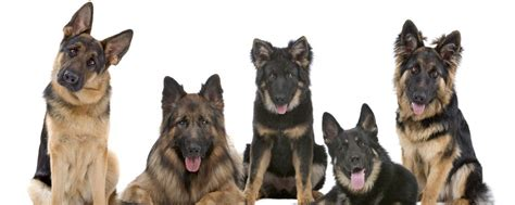 german shepherd puppy names names german shepherd names