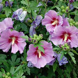 hibiskus im garten hibiskus eibisch pflanzen pflege und tipps mein