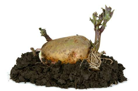 Wie Pflanze Ich Kartoffeln 4632 by Kartoffeln Pflanzen 187 Antworten Auf Alle Fragen