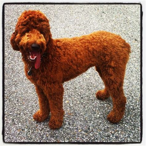 setter doodle puppies image gallery setter doodle