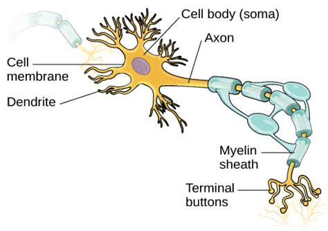neurons introduction  psychology