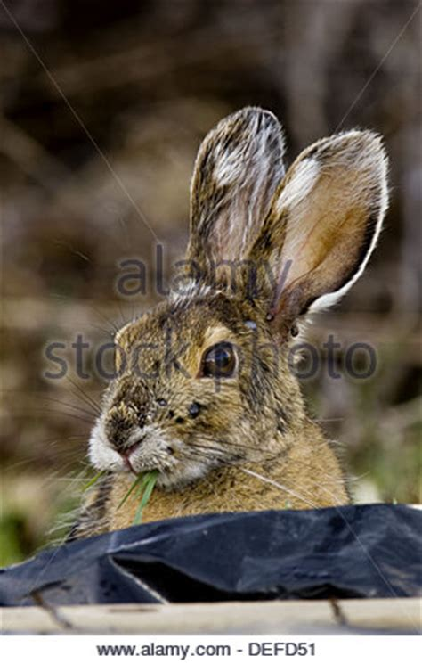 snowshoe hare (lepus americanus) with ticks on its face in