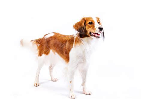 kooikerhondje puppies for sale nederlandse kooikerhondje puppies for sale akc puppyfinder
