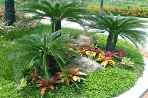 Tanaman Sikas tips jitu merawat sikas sang tanaman jurasik jitunews