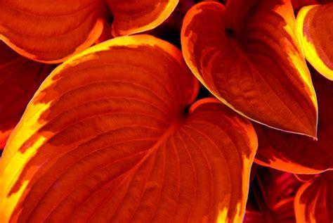 leave form sle 19 best images about hostas on plants
