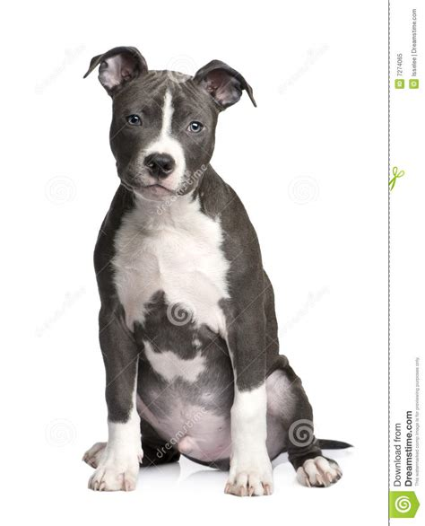 american terrier puppies american staffordshire terrier puppy 3 months royalty free stock photo image 7274065