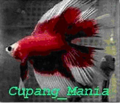 Makanan Ikan Cupang Usia 3 Hari memelihara ikan cupang yakhanu