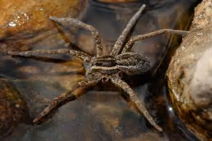 F Spider File Fishing Spider Autotomy Jpg Wikimedia Commons