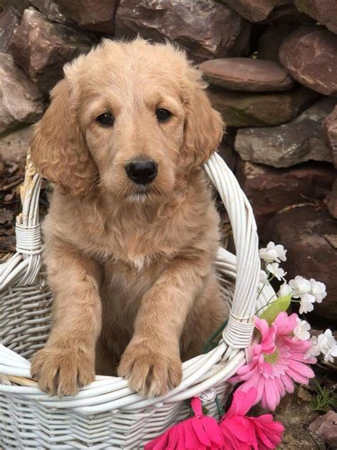 75 golden retriever 25 poodle quot precious quot f1b standard goldendoodle 1 200 ready now smooth coat just a